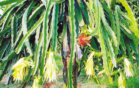火龙果树 记者 张波 摄